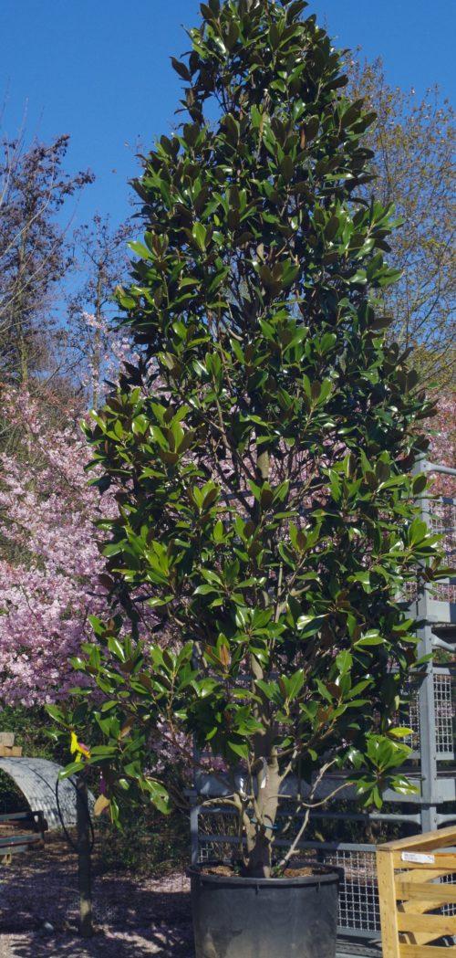 Pépinières De L&126.jpg039;Authion Ao P1 MAGNOLIA Grandiflora 'Galissonnière' 126