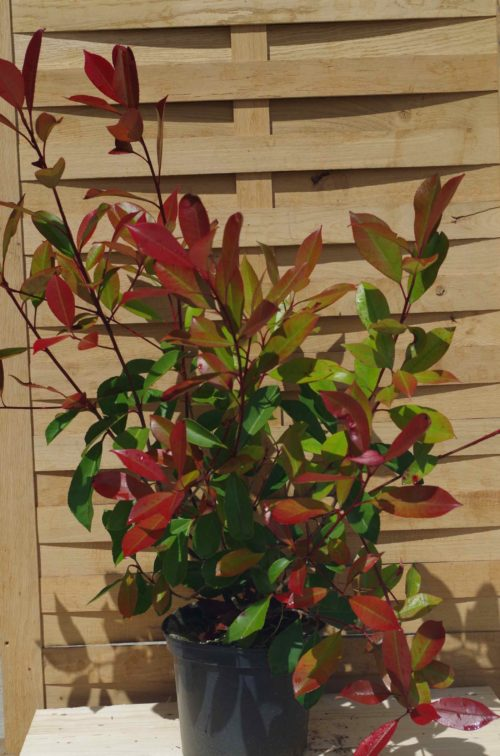 Pépinières De L&151.jpg039;Authion P4 PHOTINIA X Fraseri Red Robin 151