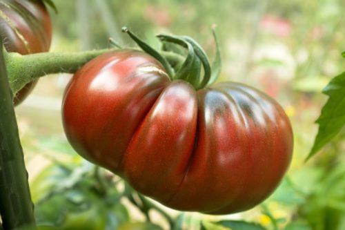 Pépinières De L&180.jpg039;Authion Plto4 Tomate RUSSE ROUGE 180