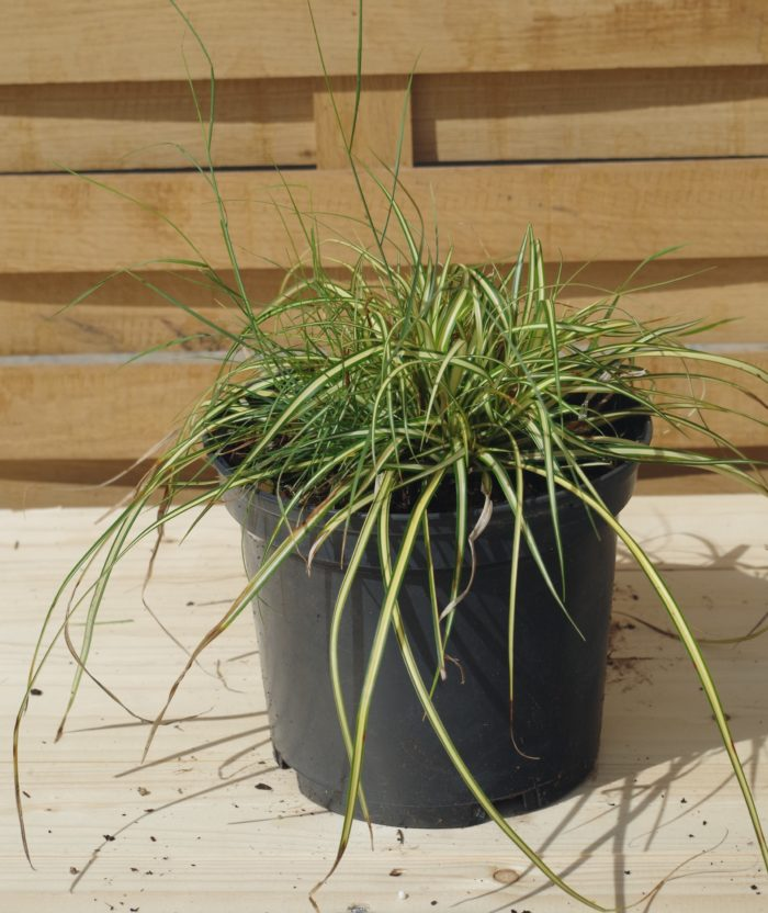 Pépinières De L&183.jpg039;Authion Pm1 CAREX Morrowii 'Ice Dance' 183