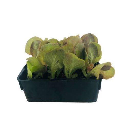 Pépinières De L&192.jpg039;Authion Ps4 Salade FEUILLE DE CHENE ROUGE 192