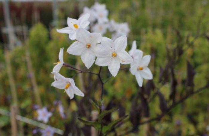 Pépinières De L&371.jpg039;Authion Pg5 SOLANUM Jasminoides Blanc 2 371