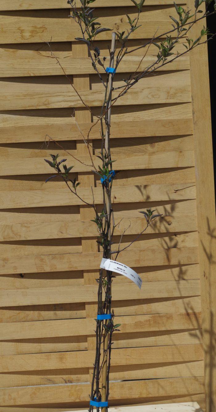 Pépinières De L&373.jpg039;Authion SOLANUM Jasminoides Blanc 373