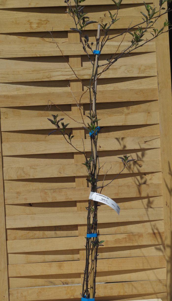 Pépinières De L&374.jpg039;Authion SOLANUM Jasminoides Bleu 374